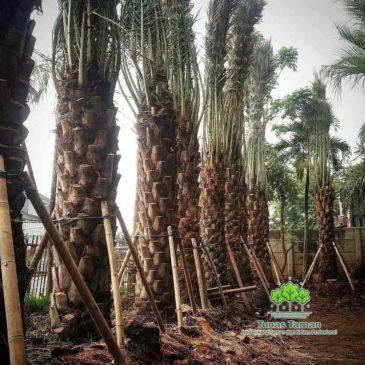Jual Pohon Kurma Ajwa Berbuah Harga Murah