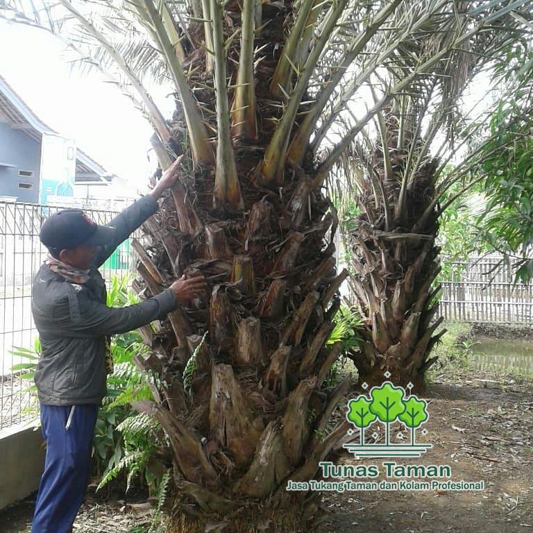 JUal Pohon Kurm