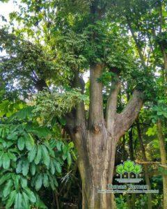 Jual Pohon Pelindung