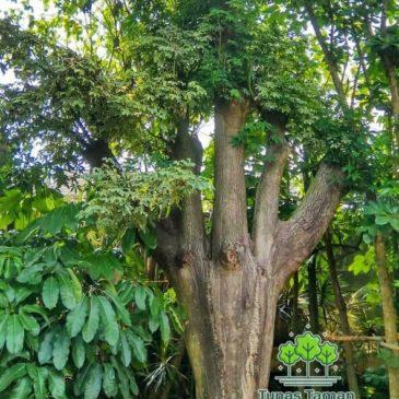 Jual Pohon Pelindung Tanaman Peneduh Besar